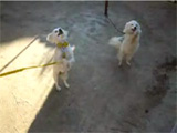 Animal funny videos: dogs on two feet