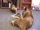 Ferret fun video