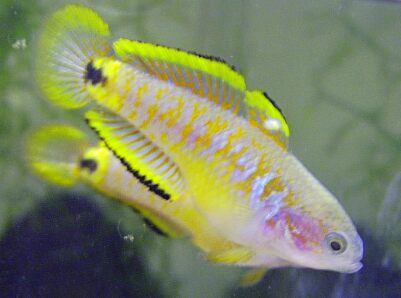 famous pictures of fishes gobies collections