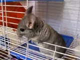 Chinchilla: rascal Buddy