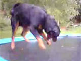 Dog on jumping trampoline
