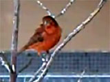 Red canary singing